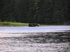 Algonquin Moose Wading in Water