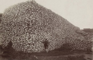Thousands of bison skulls - a tragedy.