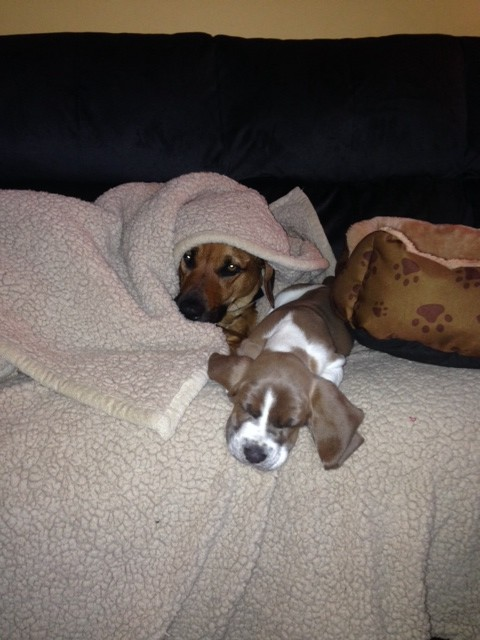 Basset Hound Puppy and Black Mouth Cur