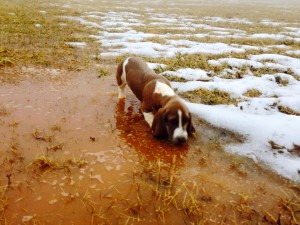 A Basset Hound in the mud
