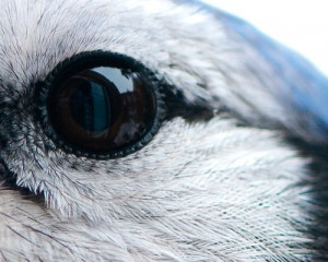 A Bluejay eye
