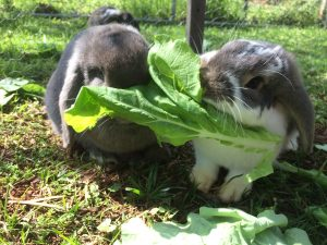 Our rabbits share some leftover cabbage