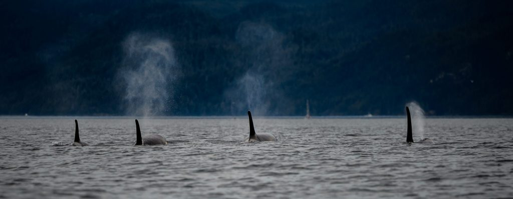 The Ache of Orcas: Writers, Journey into the Mystery